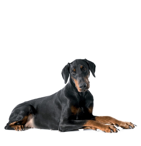 doberman couché